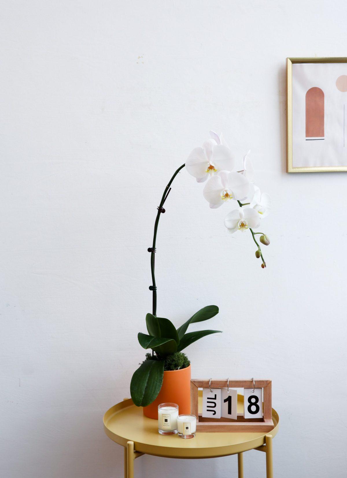 Phalaenopsis in Orange Pot