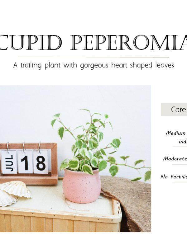 Cupid Peperomia